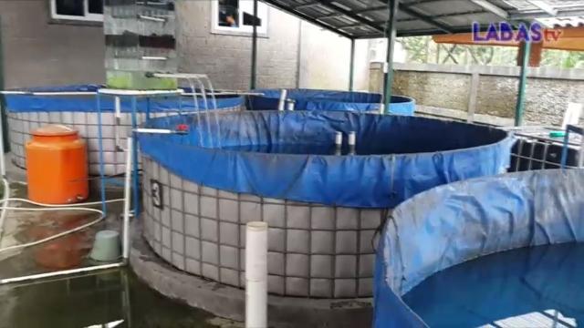 Banyuwangi Merdeka Com Ikan Sidat Asal Banyuwangi Jadi Buruan