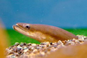 Ekspor Ikan SIdat Indonesia