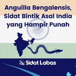 anguilla bengalensis sidat bintik asal india